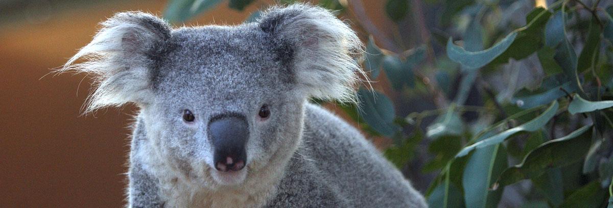 雪梨Taronga Zoo塔龍加動物園門票(含天行者纜車)