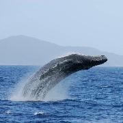 [2020/1/11-3/31冬季限定]沖繩慶良間賞鯨魚半天團(那霸市區酒店可接送)
