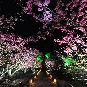 2020沖繩今歸仁城櫻花祭+夕陽晚餐一日遊(指定恩納村/名護酒店接送)