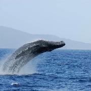 沖繩慶良間海域浮潛+海龜+水上活動+賞鯨/登島一日遊(自行集合OR那霸市區免費接送)