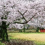 2020韓國慶州櫻花節一日遊(大邱出發)